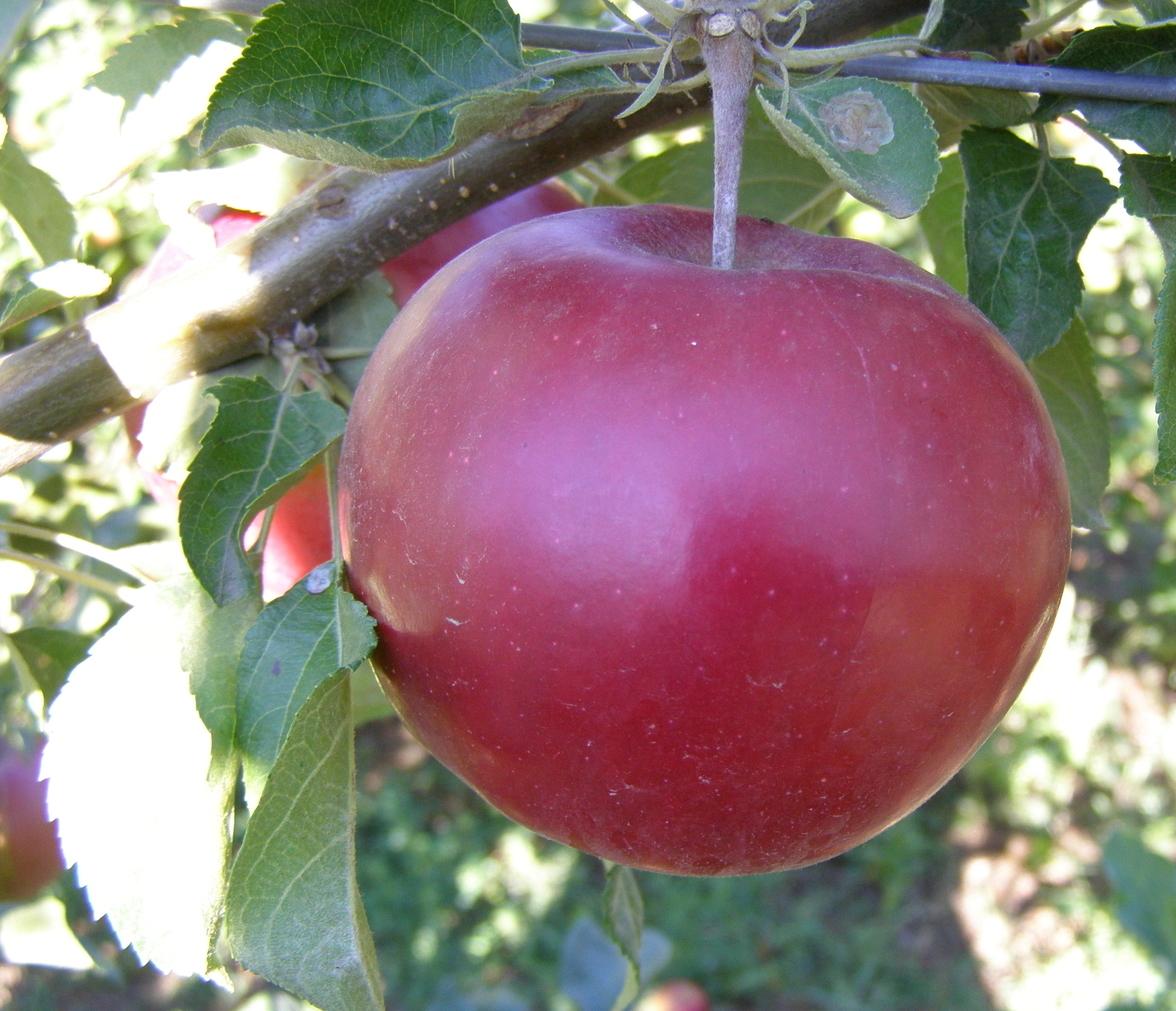 методы научно яблоня мартовское фото описание что савойскую капусту